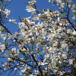White magnolia/ ハクモクレン 花の様子