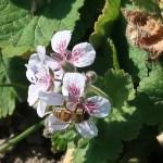 Pelargonium-flowered storksbill / エロディウム ペラルゴニフォーラム