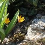 Tulipa neustruevae/ ツリパ・ネウストルエヴァエ 花の様子