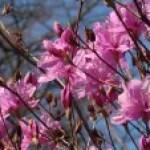 Rhododendron reticulatum/ コバノミツバツツジ