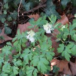 Fumewort/ オランダエンゴサク 白い花の咲いている様子