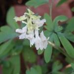 Fumewort/ オランダエンゴサク 白い花の姿