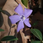 Bigleaf periwinkle/ ツルニチニチソウ 花の姿