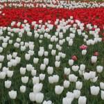 Tulip チューリップ 花の咲いている様子