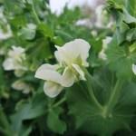 Pea/ エンドウ 花の姿