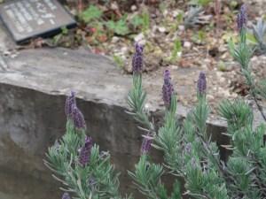 French lavender/ フレンチラベンダー シフォンダークパープル