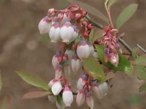 Blueberry/ ブルーベリー 花の様子