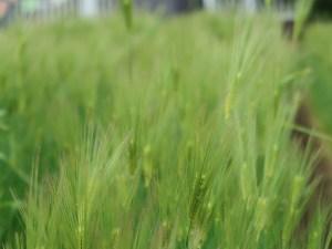 Barley/ オオムギ 穂の様子