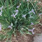 Milky iris/ ネジアヤメ 花の咲いている様子