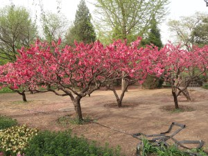 Peach/ モモ 花の咲いている木の様子