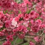 Peach/ モモ 花の様子