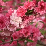 Peach/ モモ 花の姿