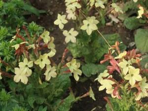 Jasmine tobacco/ シュッコンタバコ 花の咲いている様子