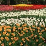 Tulip/ チューリップ 花壇の様子