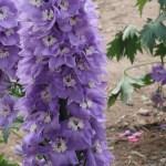 Larkspur/ オオヒエンソウ 花の様子