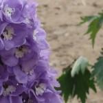 Larkspur/ オオヒエンソウ 花の姿