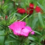Dianthus/ ナデシコ属 花の姿
