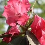 Rhododendron シャクナゲ 品種: Markeeta's Flame