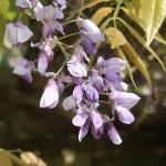 Silky wisteria/ ヤマフジ