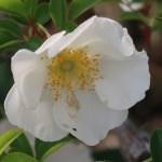 Wild/ species rose/ Cherokee rose/ナニワイバラ
