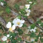 Wild/ species rose/ Wingthorn Rose/ ロサ・セリケア・プテラカンタ 花の様子