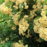 Wild/ species rose/ Lady Banks' rose/ モッコウバラ 花の咲いている様子