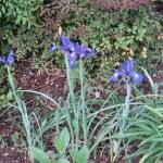 Dutch iris/ ダッチアイリス 花の様子