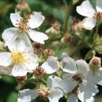 Wild/ species rose/ モリイバラ 花の様子