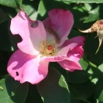 Wild/ species rose, Species Cross, Single Pink China シングルピンク・チャイナ 花の様子