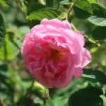 Old garden rose/ Damask/ Rose de Mai