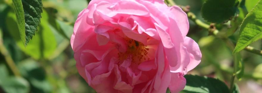 Old garden rose/ Damask/ Rose de Mai