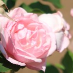 Old garden rose/ Bourbon/ Souvenir de la Malmaison スヴニール・ド・ラ・マルメゾン