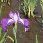 Iris ensata ハナショウブ 花の様子