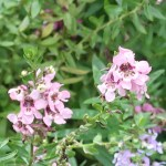 Summer snapdragon/ サマースナップドラゴン 花の様子
