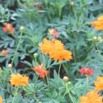 Sulfur Cosmos/ キバナコスモス 花の様子