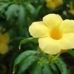Yellow allamanda/ アリアケカズラ 花の姿