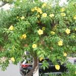 Yellow allamanda/ アリアケカズラ 花の咲いている様子