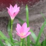Cuban zephyrlily/ コサフランモドキ 花の姿