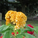 Plumed cockscomb/ ケイトウ 花の姿