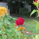 Plumed cockscomb/ ケイトウ 花の様子