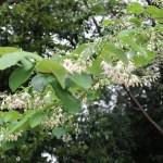 Fragrant Snowbell/ ハクウンボク 花の咲いている様子