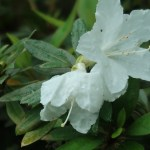 Rhododendron boninense/ ムニンツツジ 花の姿