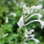 Scutellaria longituba ムニンタツナミソウ 花の姿