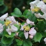 Singapore holly/ ヒイラギトラノオ 花の様子