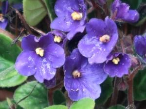 African violets/ アフリカスミレ セントポーリア 花の姿