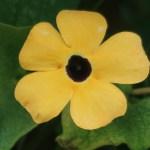 Black-eyed Susan vine/ ヤハズカズラ 花の姿