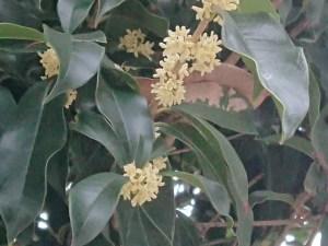 Tea olive/ ギンモクセイ 花の咲いている様子