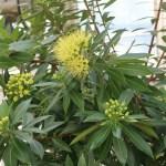 Golden penda キサントステモン・クリサンサス 花の様子