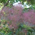 European smoketree/ ハグマノキ 花の様子