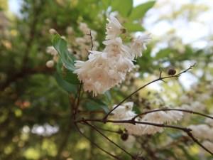 Crenate Deutzia (double)/ シロバナヤエウツギ 花の咲いている様子